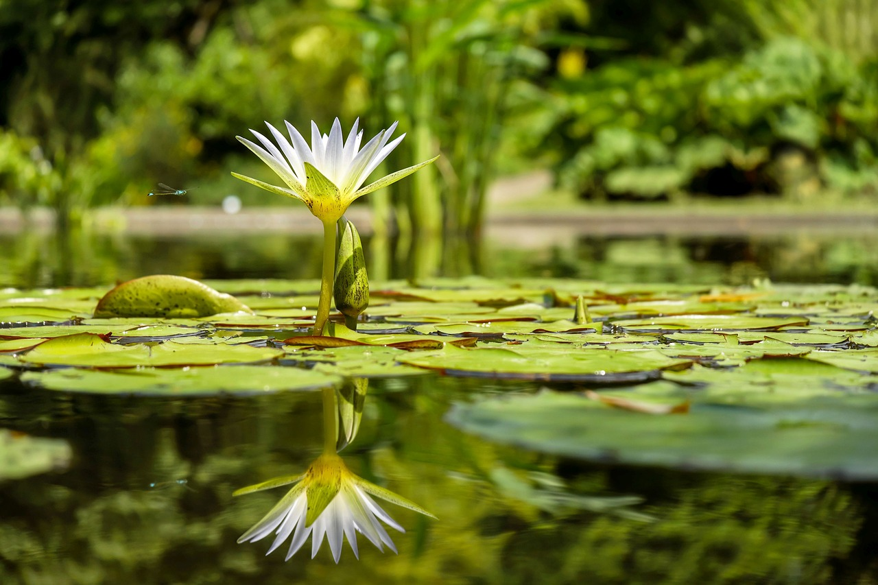 water-lily-1857350_1280